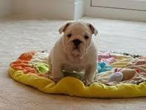 FREE*FREE Healthy Free M/F English B.u.l.l.d.o.g Puppies!!!(301) 463-7620 thanks for your time