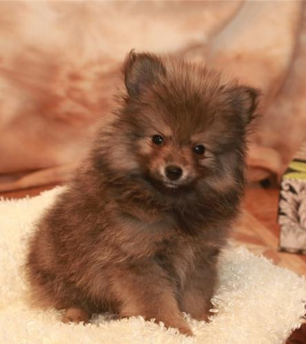 @@@ Male and Female Pomeranianss Puppies Available@(770) 666-0417  Male and Female Pomeranianss Pup