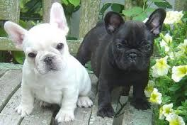 Amazing french bulldogs for sale