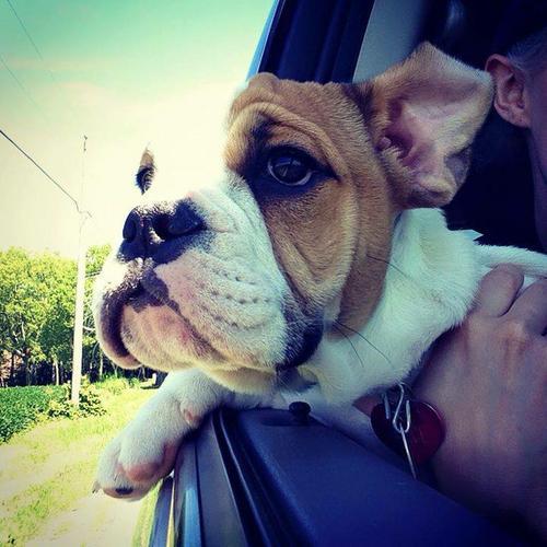 E.n.gl.i.s.h B.ulldog  puppy female for adoption
