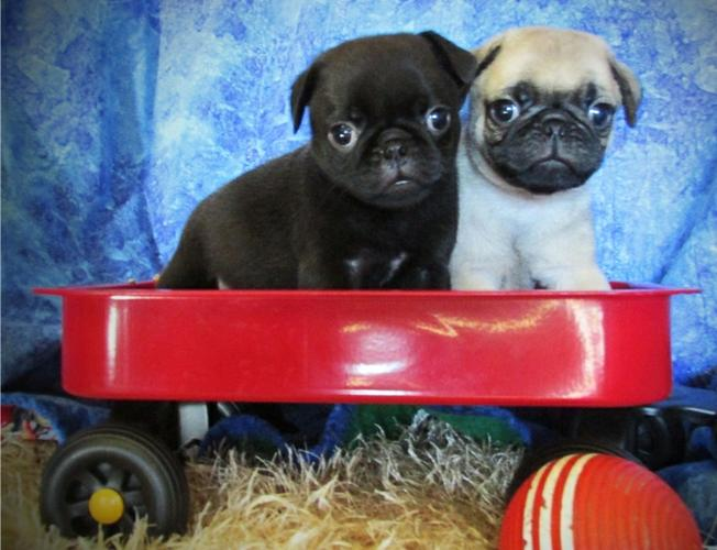 TWO Gorgeous P.U.G Puppies Available.(912) 304-0976