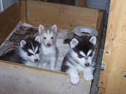 %$% Free Fantastic Female and Male H.u.s.ky Pu.pp.ies for new home %$% (410) 513-5341