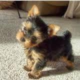 SWEET Y.O.R.K.I.E Puppies:??? (704) 626-7600
