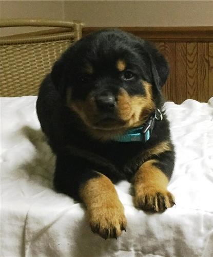 We have beautiful and cute R.O.T.T.W.E.I.L.E.R Puppie.s