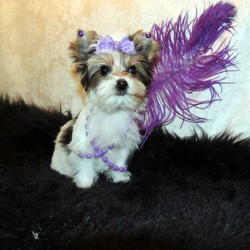 /#/#Fantastic Female and Male Y.o.r.k.i.e puppies for new home/#/