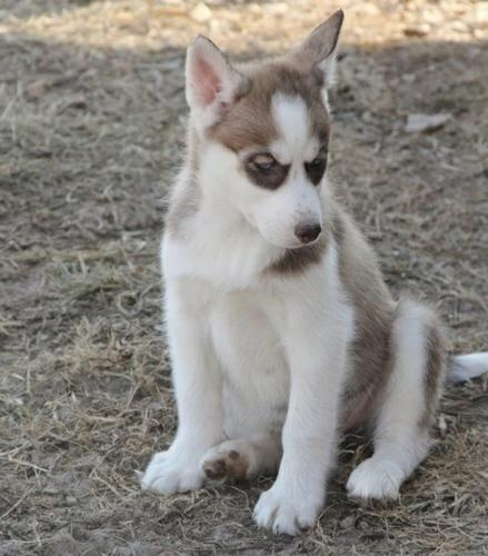 !!!!! Quality siberians huskys Puppies:!!!contact us at(563) 794-4791