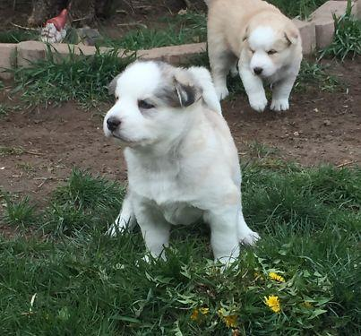 TOP QUALITY S.I.B.E.R.I.A.N H.U.S.K.Y PUPS available contact us on (731)-681-3597