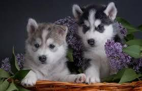 <<They are AKC Registered<<(707) 840-8141