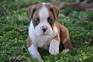 Excellent male and female Boxer puppies for adoption