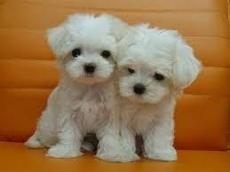 BEAUTIFUL M.O.R.K.I.E. Puppies: contact us at (678) 734 - 8035 any time!!