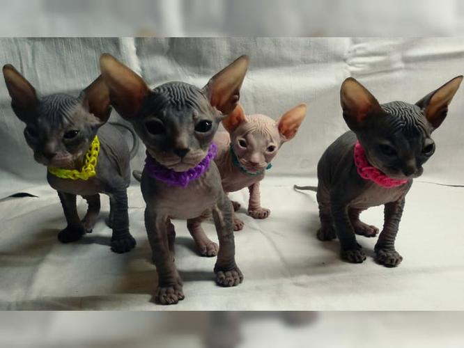 Sphynx kittens available.