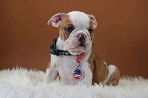 Quality English Bulldogs Puppies:contact us at (602) 800-6058.