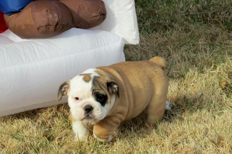 Healthy Free M/F English B.u.l.l.d.o.g Puppies!!! (317) 643 0215