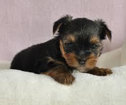 ??Pretty Female and Male Y.o.r.k.i.e puppies?? (407)442-4849