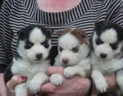 FREE Quality siberians huskys Puppies:contact us at (915) 243-6785..