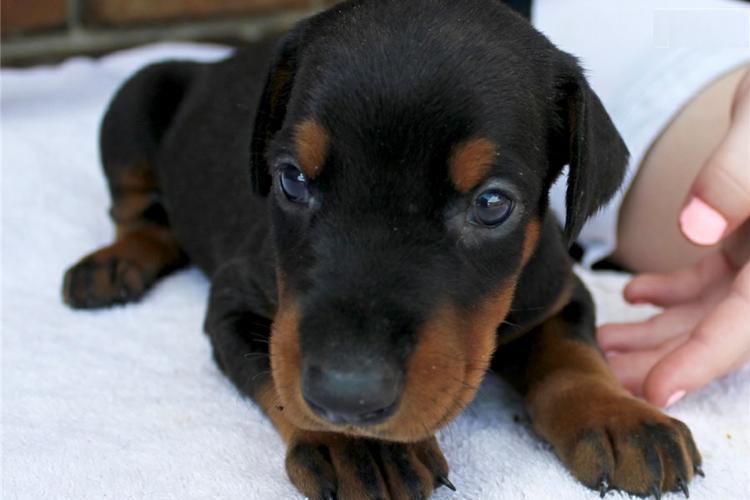 Doberman Pinscher puppies.text .410).650.5212