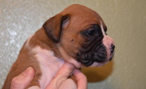 Sweet male and female Boxer