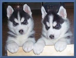 Cute Male And Female S.i.b.e.r.i.a.n H.u.s.k.y P.u.p.p.i.e.s for good homes(404) 448-9600
