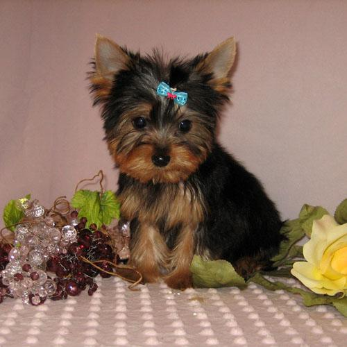 Tiny female Y.o.r.k.i.e Puppy ... (443) 266-6520