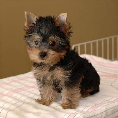 Tiny female Y.o.r.k.i.e Puppy ... (443) 266-6520