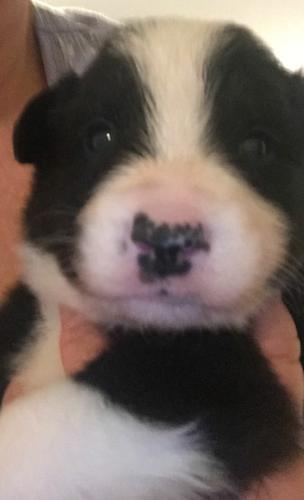 Border Collie Puppies Kc Registered