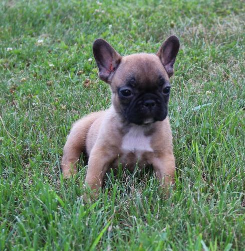 CUTE F.r.e.n.c.h B.u.l.l.d.o.g. Puppies: contact us at.(972) 666-4598.