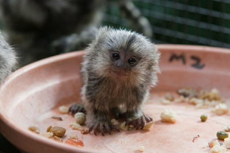 Well Trained Marmosets Monkeyss, Call (813) 702-3864 for info's
