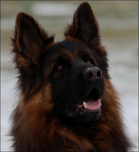 AMAZING GUARD DOG