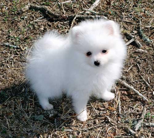 *Top Quality  **Pomeranians** puppies*