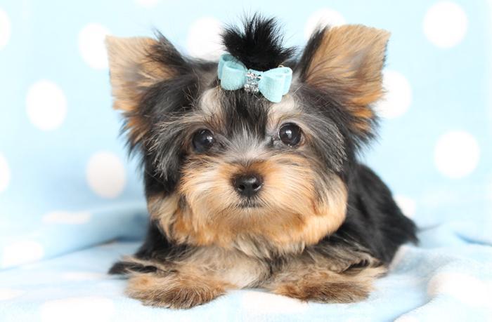 CUTE Y.O.K.I.E. Puppies: contact us at (803) 828-2681