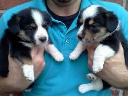 Amazing W.E.L.S.H. C.O.R.G.I Pups Ready now (254) 836-2882