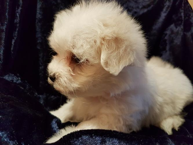 MA.L.T.E.S.E P.upp.i.e.s For F.r.e.e, (410) 406-7864/Ready Now 14 Weeks Old #