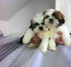 Cute s.h.i.h t.z.u Puppie.s..(734) 400-4789