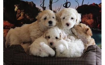Maltipoo PUPPIES Adorables