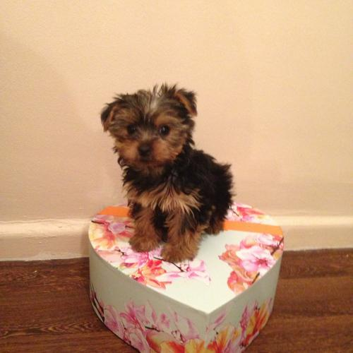 # ?? Quality Teacup Yorkies Puppies:....??** (505) 596-1283