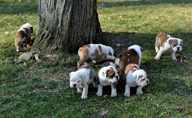 Amazing and Affectionate English Bulldog Puppies currently available to go