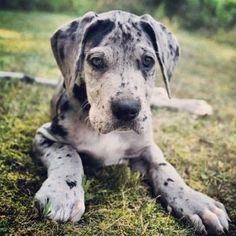 Cute G.r.e.a.t D.a.n.e Puppie.s