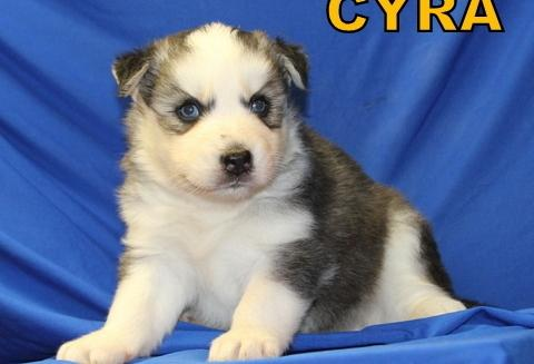 ???Quality siberians huskys Puppies:???contact us at(347) 696-0307
