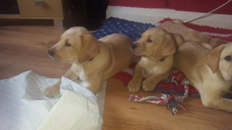?L.a.b.r.a.d.o.r Retriever P.upp.i.e.s, Ready Now 12 Weeks Old # contact (443) 304-8535