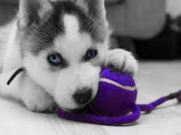 CUTE S.i.b.e.r.i.a.n H.u.s.k.y Puppies: contact us at.818-856-4827