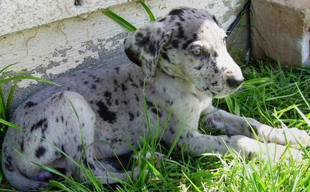 Preciuos Great Dane Puppies