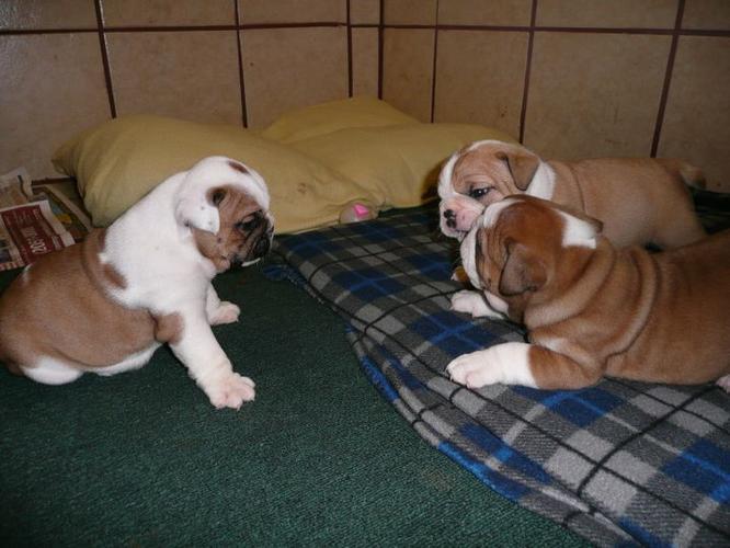 !!! English Buldogs Puppiess !!!! (301) 660-2326