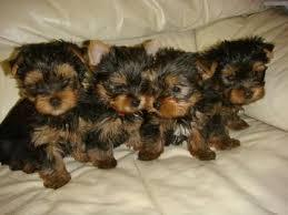 ?Y.o.R.k.i.e P.upp.i.e.s For F.r.e.e, Ready Now 12 Weeks Old # (661) 235-0747