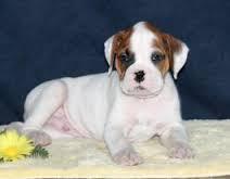 beautiful boxer puppies
