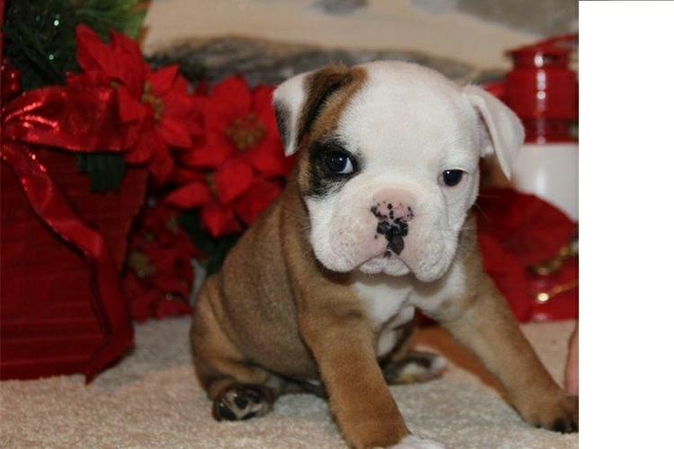 Quality English Bulldogs Puppies:contact us at(410) 424-6120
