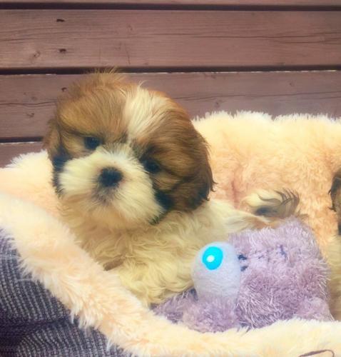 Cute s.h.i.h t.z.u Puppie.s 2567564923