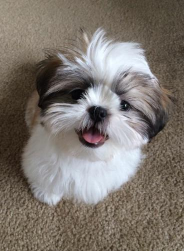 Cute Teacup Puppy Shih Tzu...