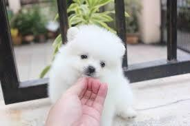 Top Quality Pom Puppies:....contact us at(301) 539-2665