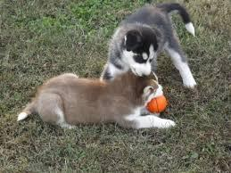 Quality siberians huskys Puppies:contact us at (404) 666-2409