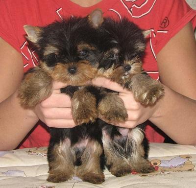 CUTE Y.o.r.k.s.h.i.r T.e.r.r.i.e.r Puppies: contact us at (704)3260802